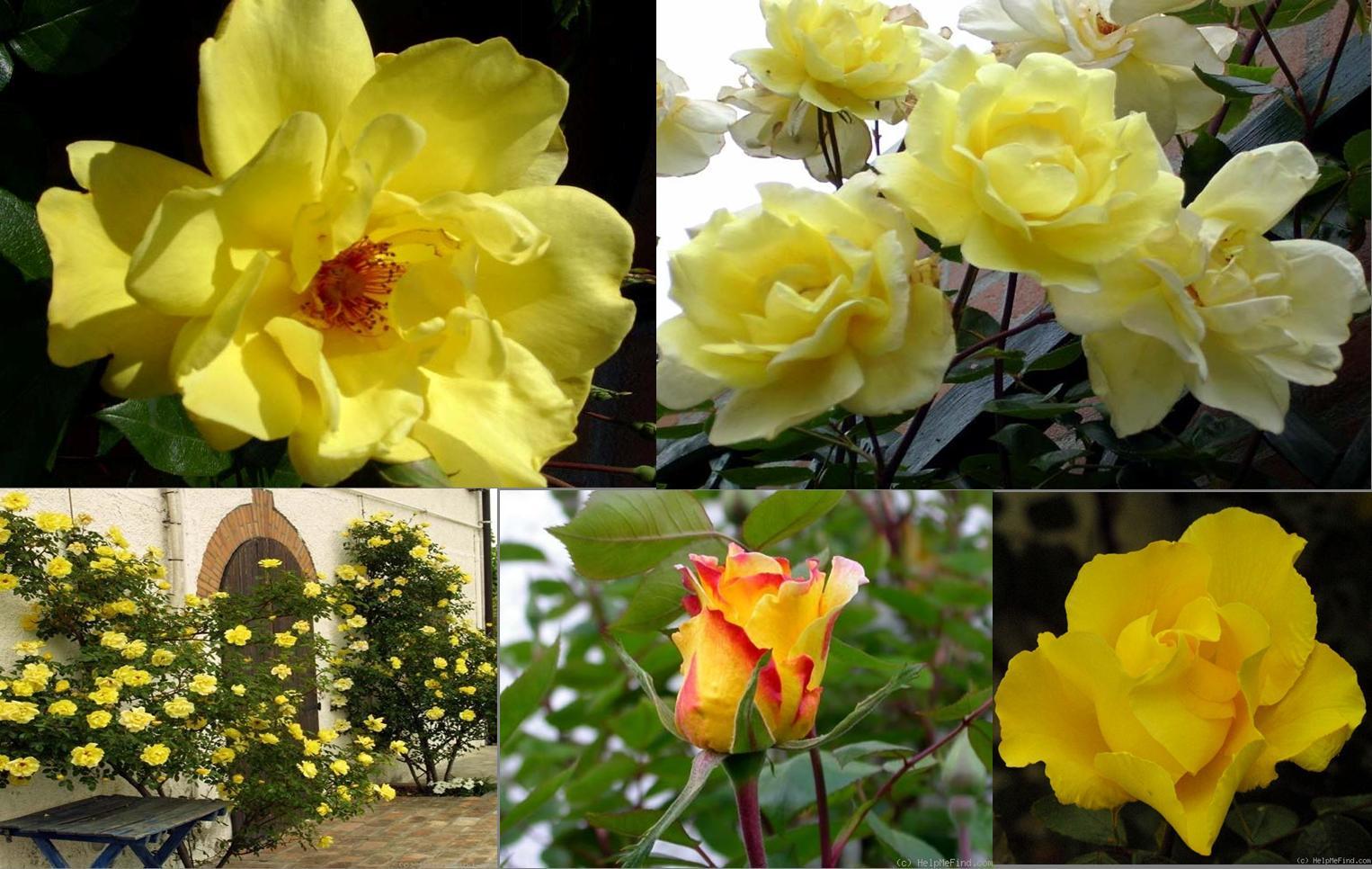 Роза плетистая golden showers 6