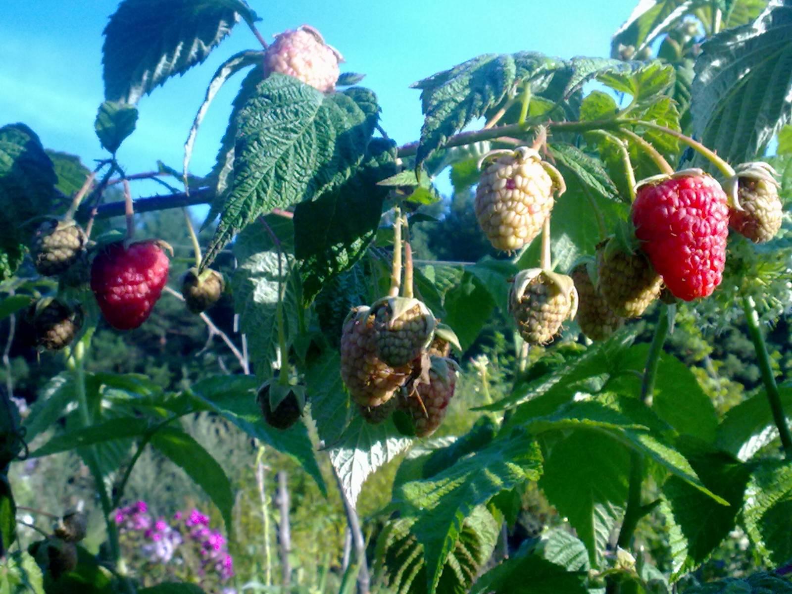 Малина геракл описание сорта фото отзывы особенности выращивания